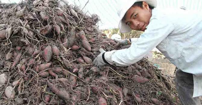 Dồn dập thu gom khoai lang cuối vụ xuất sang Trung Quốc