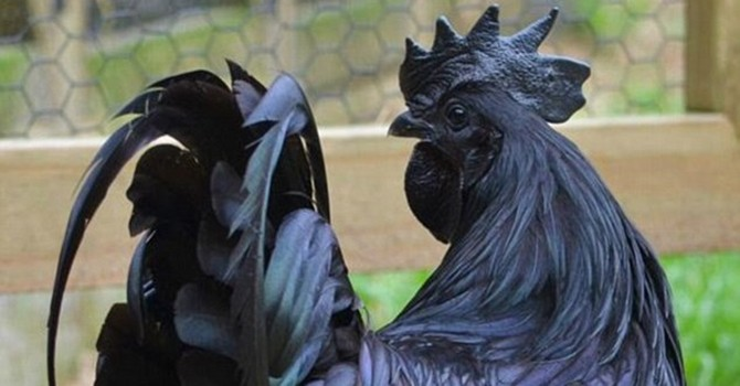 Chiêm ngưỡng giống gà đen quý hiếm giá hơn 50 triệu đồng/con