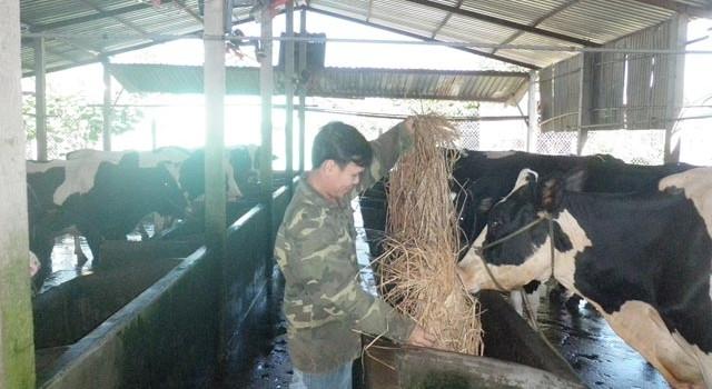 """Nông dân bán bò sữa """"trốn chạy""""... TPP"""