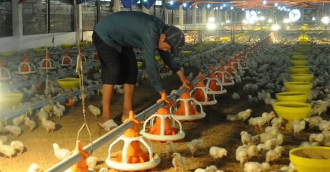 """""""Năm kinh hoàng của người nuôi gà"""""""