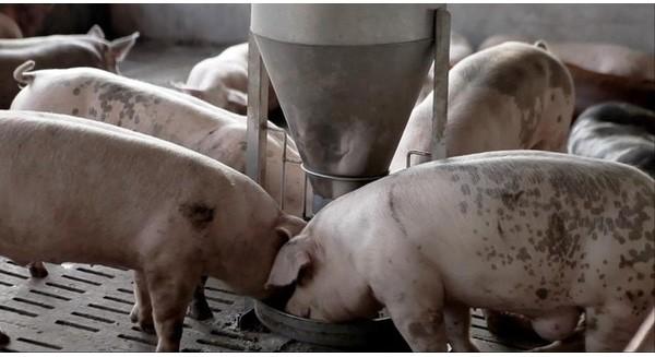 """Sẽ chỉ còn những """"ông lớn"""" như Masan, Cargill, CP trên thị trường thức ăn chăn nuôi?"""