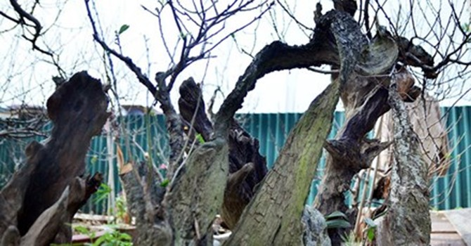 """Vườn đào như """"củi mục"""" giá thuê chục triệu ở Hà thành"""