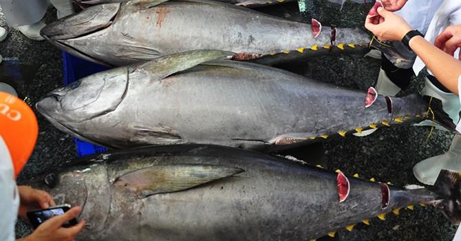 Con cá ngừ Việt Nam đầu tiên bán giá 12 triệu đồng ở Nhật