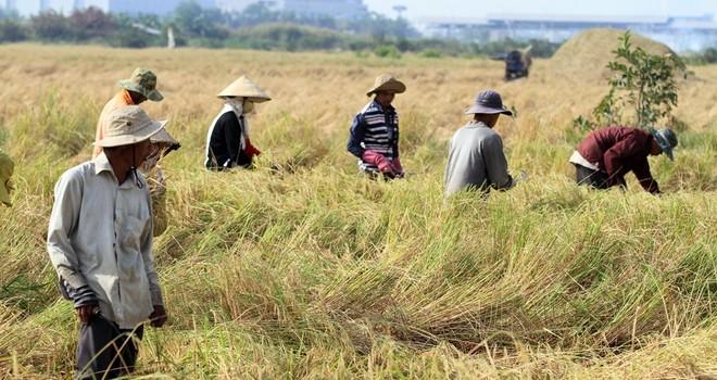 Người miền Tây lên Sài Gòn gặt lúa kiếm tiền tiêu Tết