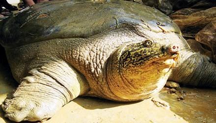 Không nên đưa rùa Đồng Mô về hồ Gươm