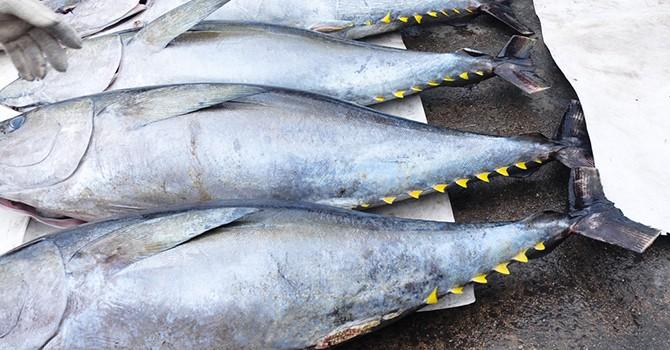 Mỗi năm Việt Nam vẫn phải nhập 5.000 tấn cá ngừ đại dương