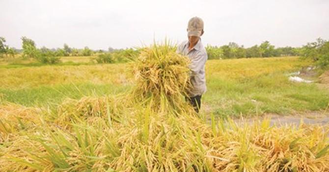 Giá gạo xuất khẩu của Việt Nam giảm… bất thường