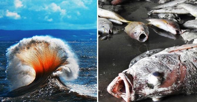 """""""Thủy triều đỏ"""" làm chết cá: Chuyên gia, Hội nghề cá cùng phản bác"""