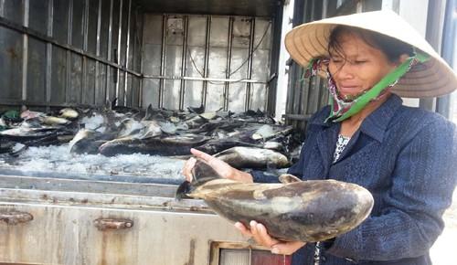 Cá chết la liệt vùng cửa sông Lạch Bạng