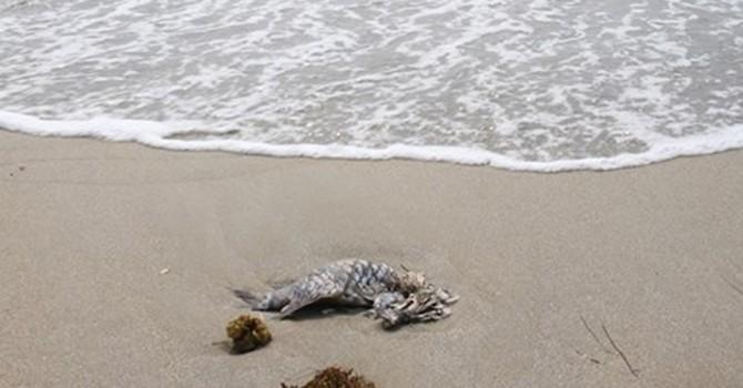 """Đà Nẵng: Gà chết vì ăn cá biển hay do """"ăn quá no""""?"""