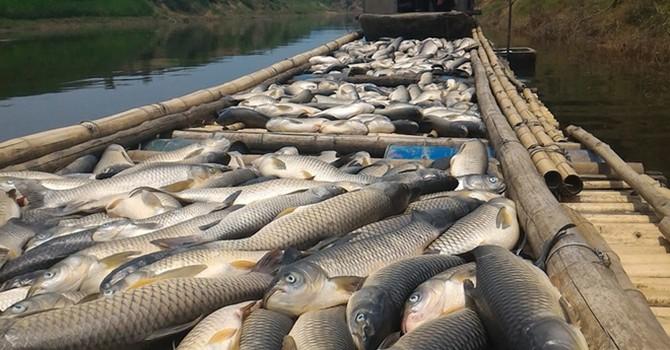 Cá chết do hóa chất trong nước sông Bưởi vượt nhiều lần cho phép