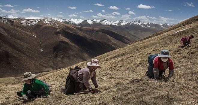 Săn đông trùng hạ thảo trên núi cao 4.500 m