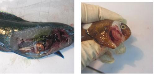 Nguyên nhân gây cá chết được truy tìm như thế nào?