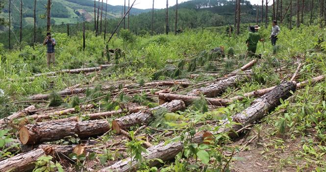 Tàn phá sạch rừng phòng hộ xung yếu