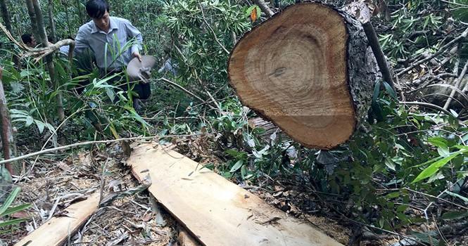 Vụ phá rừng pơ mu: Hé lộ đường dây phá rừng có tổ chức