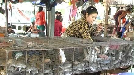 Săn chuột Đồng Tháp Mười