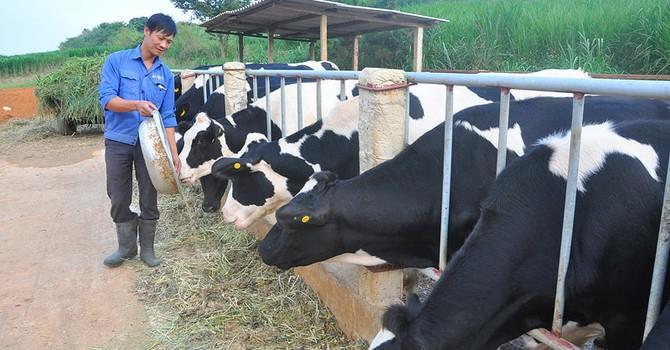 Thị trấn 600 tỷ phú, lái ôtô dạo thăm bò ở Việt Nam
