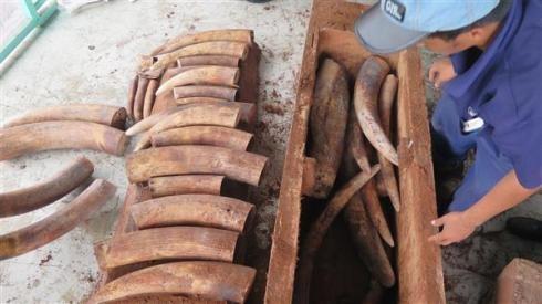 Kiểm tra 2 container phát hiện toàn ngà voi trị giá 20 tỷ đồng