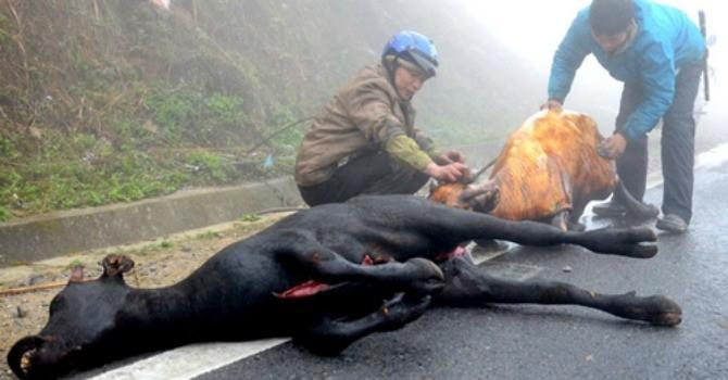"""Hơn 9.200 gia súc chết rét trong đợt không khí lạnh """"kỷ lục"""" vừa qua"""