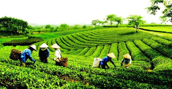 """Chè Việt xuất ngoại: Không thể """"lờ đi"""" tiêu chuẩn toàn cầu"""